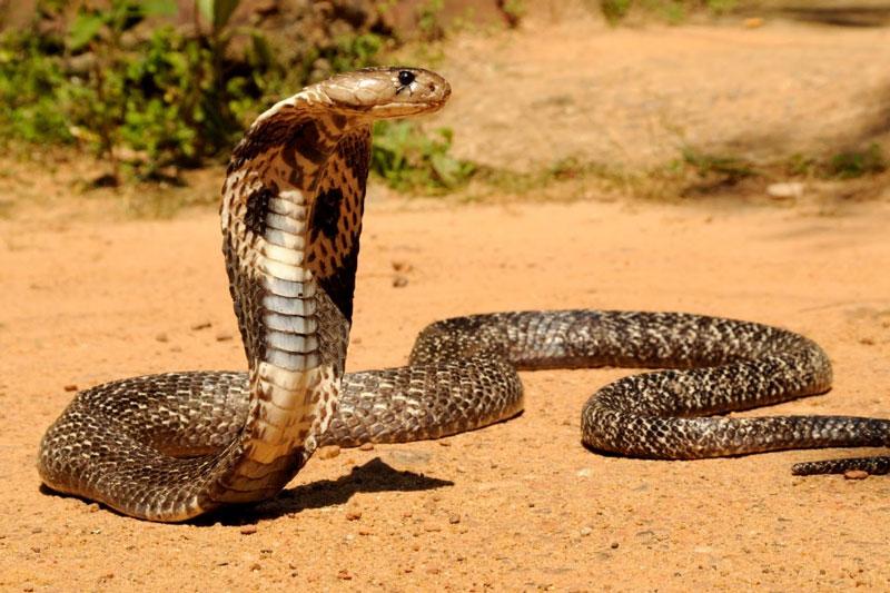 Cobra-Filipina