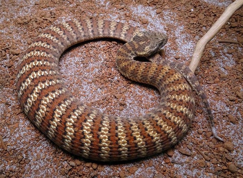 Cobra-da-morte