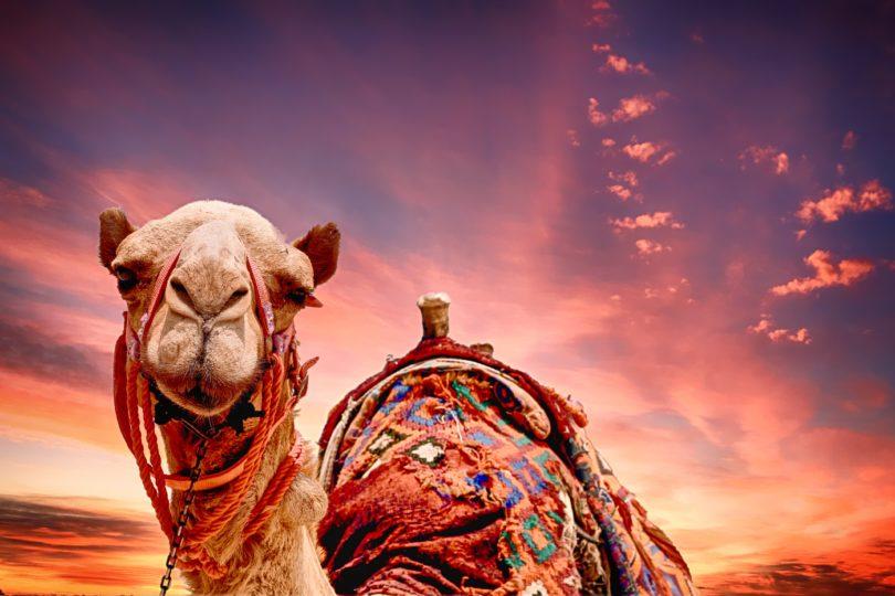 Sonhar com camelo, é bom ou ruim? Saiba aqui! - QC Animais