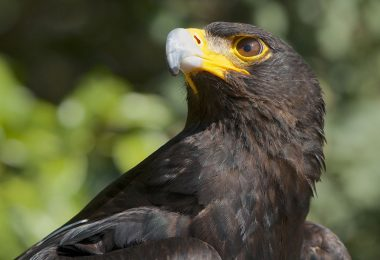 Águia-negra-africana
