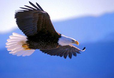 A águia se renova?