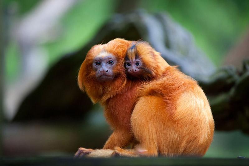 Animais em extinção - Mico-Leão-Dourado