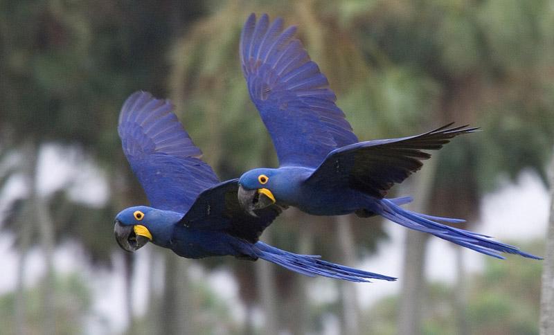 Animais em extinção - Arara Azul