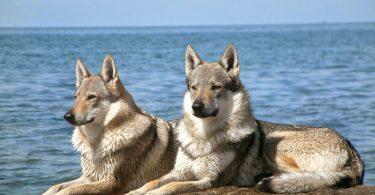Cão-lobo