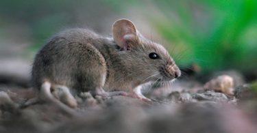 Como evitar ratos
