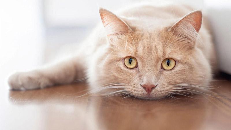 Conjuntivite em gatos