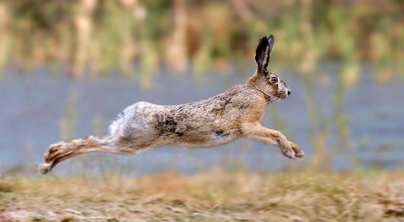 Diferenças entre lebre e coelho