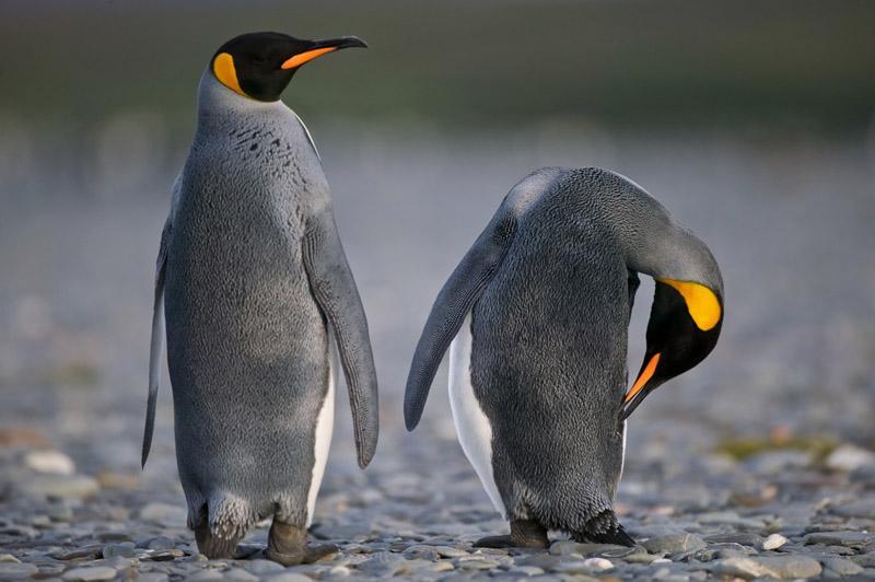 Espécies de pinguim