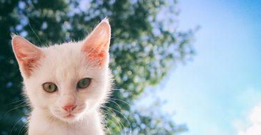 Esporotricose em gatos