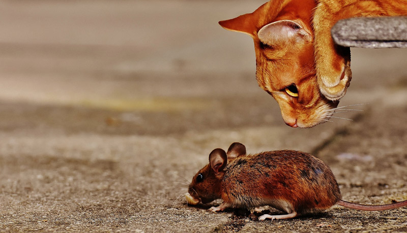 Gato pode comer rato