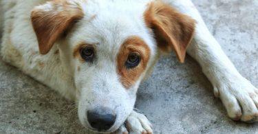 Hematúria em cães e gatos