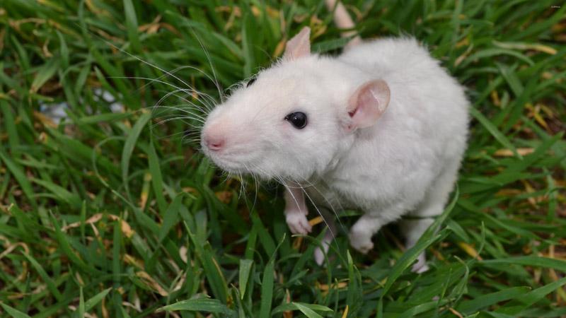 Melhores venenos para ratos