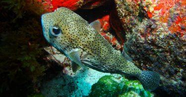 Peixe Baiacu