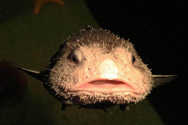 Peixe-bolha
