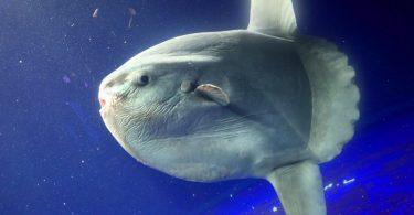 Peixe-lua: características, habitat e reprodução