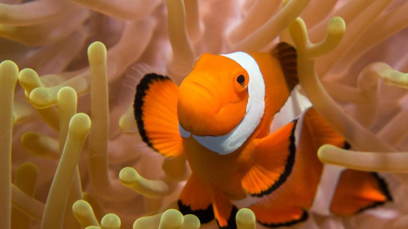 Peixe-palhaço