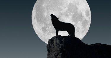 Por que o lobo uiva?