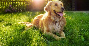 Raças de cachorros mais apegadas aos donos