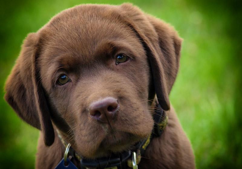 Raças de cachorros que podem ser cães guia