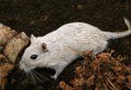 Rato: características e curiosidades desse roedor