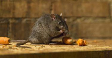 Rato tem osso?