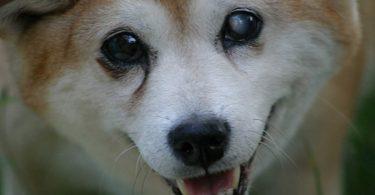 Cachorro com olho branco