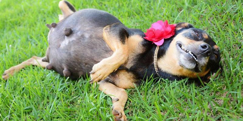 Gestação dos cachorros