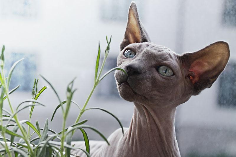 Gato sem pelos