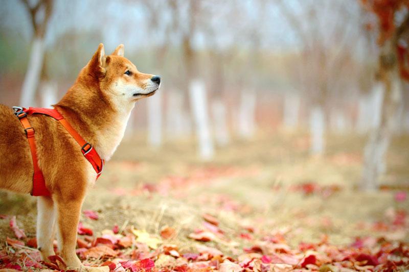 Tipos de coleiras para cachorro